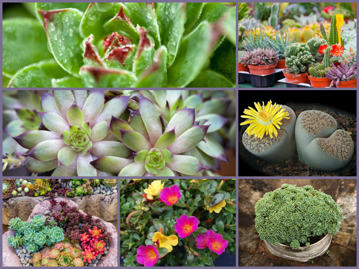 7 image collage of succulent's beautiful shapes, colors and textures.